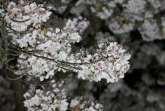 栗林公園 桜②