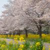 桜をひとりじめ