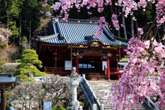身延山久遠寺のしだれ桜①