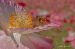 羽音を立て・・花から花へ