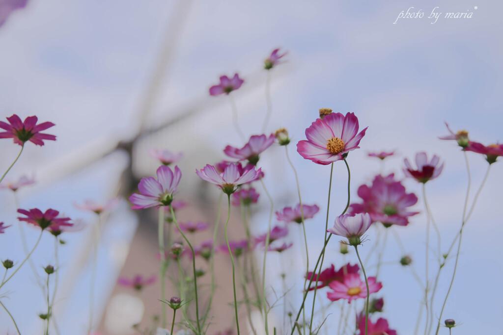 秋桜のささやき
