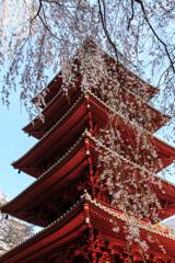 身延山久遠寺のしだれ桜②