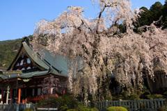 身延山久遠寺のしだれ桜④