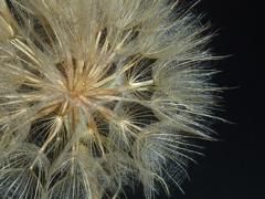 キバナムギナデシコ綿毛
