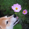 秋桜を愛でる