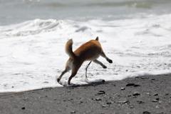 波と踊る柴犬2