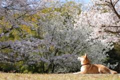 桜を感じて