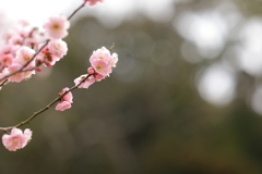 梅が咲きました