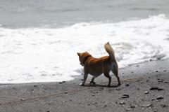 波と踊る柴犬1