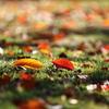 落ち葉の輝き