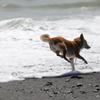 波と踊る柴犬3