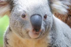 コアラかわいい