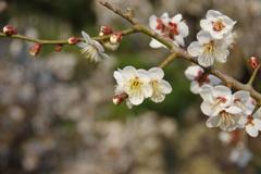 正寿院の梅