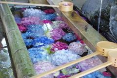 手水舎に浮かぶ紫陽花