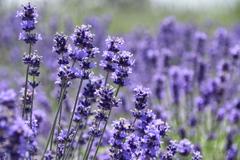 香る  紫の風