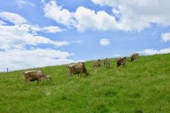 牧場で草を喰む牛たち