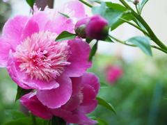 In  love with peony