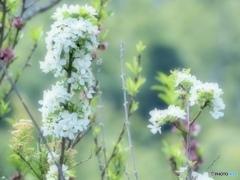 姫林檎の花は風に靡いて