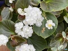ベゴニアダブルレットホワイト