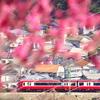 梅のトンネルと赤い電車