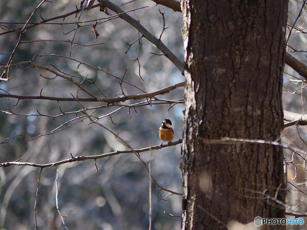 野鳥(ヤマガラ)