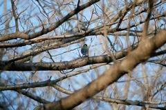 野鳥(シジュウカラ)