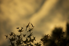 夕暮れ蜻蛉