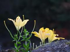 ご近所のユリの花
