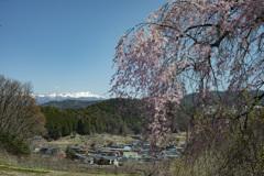 果樹園の桜