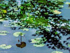 「ジュンサイ池の煌めきに惹かれて…」