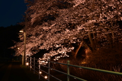 何時かの桜。