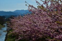 日本の春。