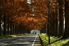 秋色のメタセコイヤ並木。