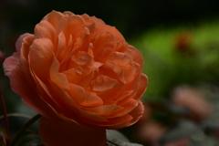 薔薇の花。