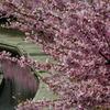 水面にも桜。