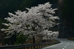また桜に。