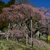 桜さくらサクラ。