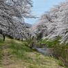 桜の下で。