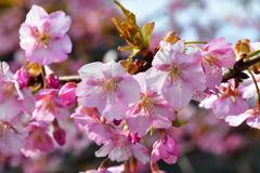 桜薫る春。