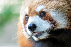 野毛山動物園のキンタ