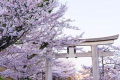桜と鳥居②