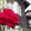 真紅のバラと洋館