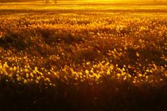 葦原染まり