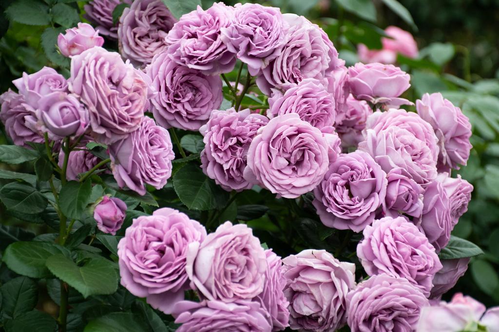 京成バラ園のバラ9
