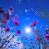 キラキラの太陽とコスモス
