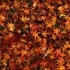 紅葉の絨毯(2)
