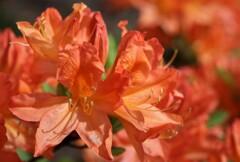 2021年5月 札幌の花たち 橙