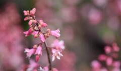 2021年5月 札幌の花たち 3