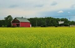 菜の花畑と赤い壁の家