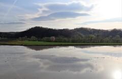 水の張った田んぼと一本桜